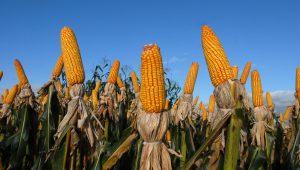 Chuva prejudicou produtores que estocavam milho a céu aberto no MT e MS