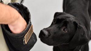 CIA já tem substituto para Lulu, a cadelinha que não farejava explosivos
