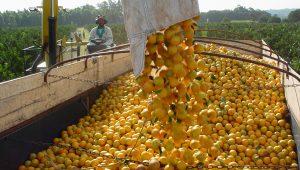 Produtores de laranja sentem efeitos do furacão Irma